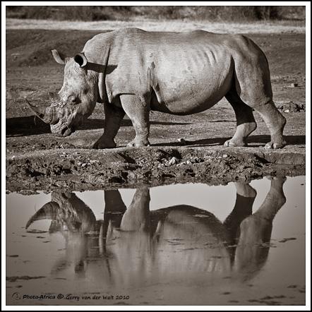 White Rhino © Gerry van der Walt