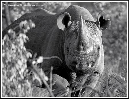 Black Rhino © Gerry van der Walt