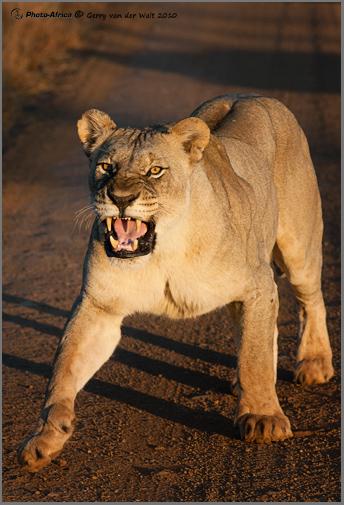 Image © Gerry van der Walt - Charging Lioness