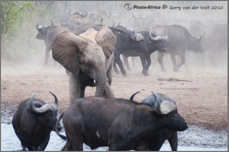 Image © Gerry van der Walt - Elephant versus Buffalo