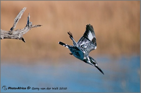 Image © Gerry van der Walt - Diving Kingfisher