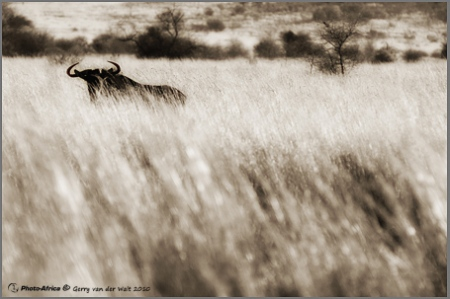 Image © Gerry van der Walt - Wildebeest Sunset