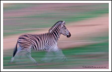 Motion Blur Zebra ©Gerry van der Walt