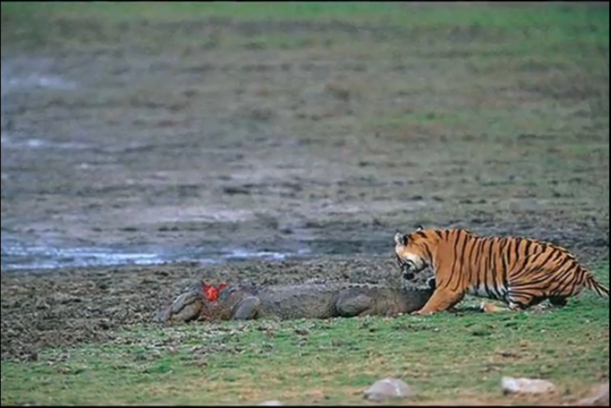 Saltwater crocodile vs tiger - photo#16