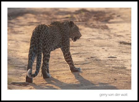 Leopard - Image © Gerry van der Walt 2011
