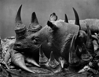 Rhino trophies - image taken from bushwarriors.wordpress.com