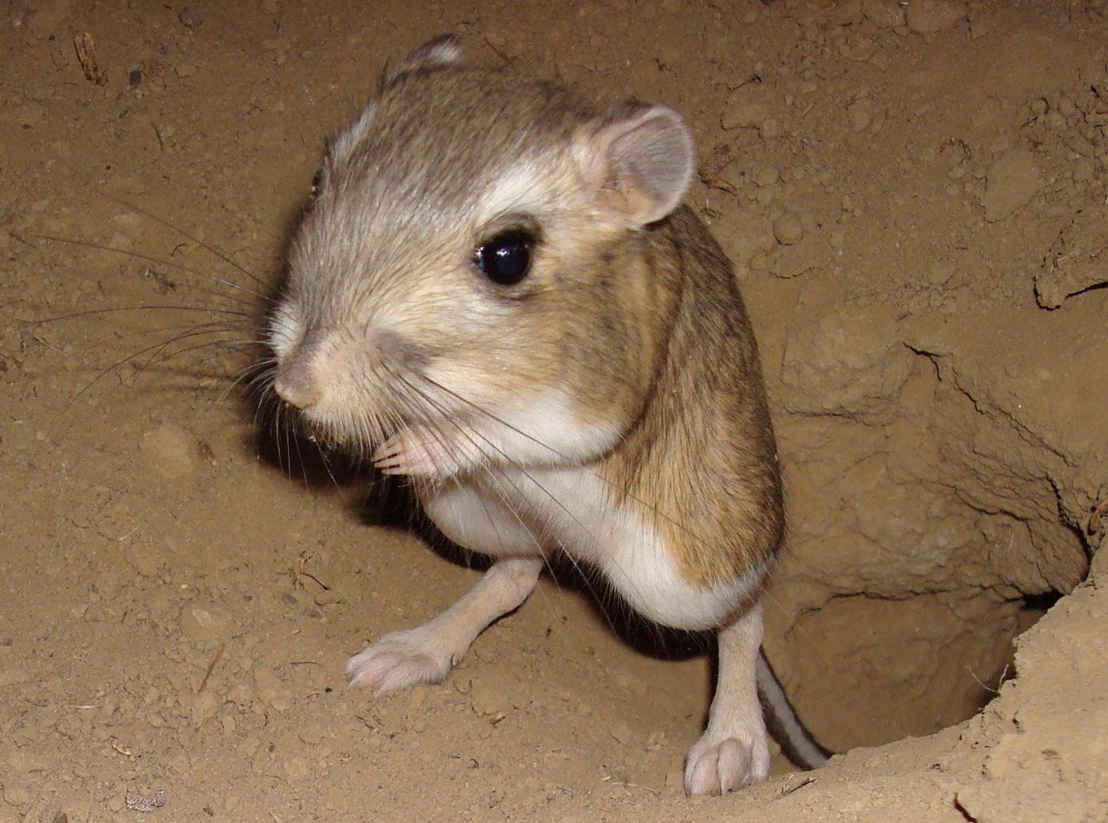 Habitat kangaroo rats