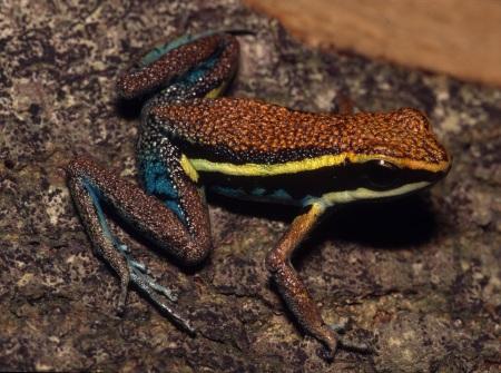 Cainarachi Poison Frog