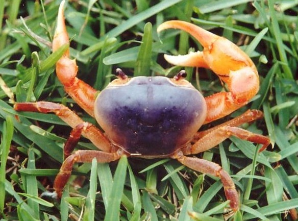 Blue River Crab