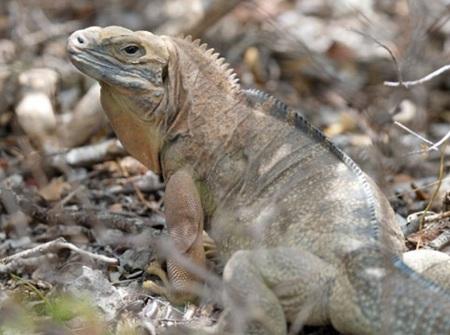 Jamacian Iguana