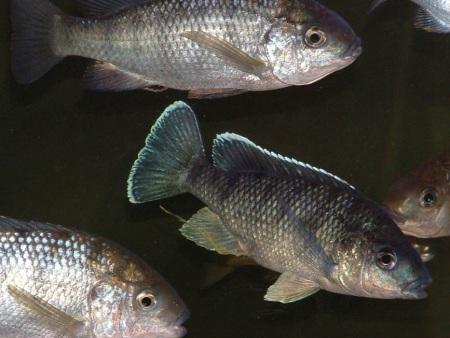 Oreochromis karonga