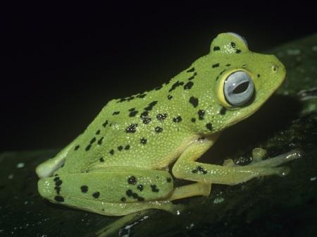Solomon Island Palm Frog